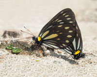 Nice butterflies, Nepal Royalty Free Stock Photos