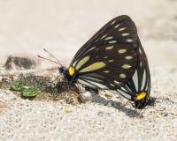 Nice butterflies, Nepal Royalty Free Stock Photos