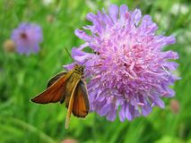 Beautiful butterfly on violet flower, Lithuania Stock Photo