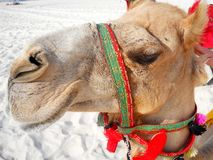 Nice Calm Camel royalty free stock photography