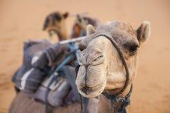 Nice Camel Stock Photography