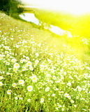 Nice camomiles by summer Royalty Free Stock Images