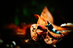 Nice caridina panda shrimp in tank. Photo of taiwan bee panda shrimp in freshwater tank Royalty Free Stock Photo