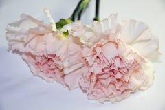 Nice carnation Royalty Free Stock Photos