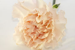 Nice carnation Royalty Free Stock Photo
