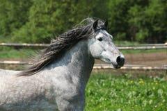 Nice carthusian stallion running Stock Image