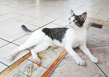 Nice cat. Act on the floor Royalty Free Stock Photos