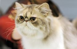 A nice cat at the exhibition. royalty free stock image