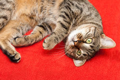 Nice cat has a rest Royalty Free Stock Photo