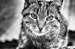 Look of the cat. Nice cat have concentrated look Royalty Free Stock Photography