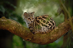 Nice cat margay sitiing on the branch in the costarican tropical forest stock images