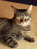 Nice cat portrait. Cat on the floor and thinking Royalty Free Stock Photos