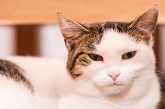 A nice cat. Portrait of a beautiful cat breed European Royalty Free Stock Image
