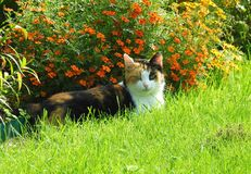 Resting beautiful cat near flowers, Lithuania Stock Image