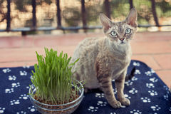 Nice cat is sitting on the balcony with pot of green grass. Portrait of a devon rex cat enjoying being in fresh air Stock Images