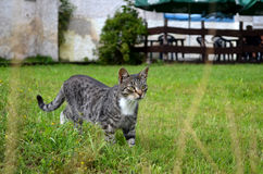 Nice cat walking. On the grass Stock Images