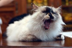 Nice cat yawns in the room Stock Photography