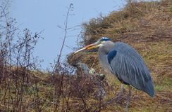 Nice catch for the Blue Heron. Blue Heron catching his meal along the slough in White Rock, BC, Canada Royalty Free Stock Photo