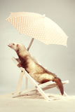 Nice champagne ferret portrait on beach chair in studio. Ferret portrait on beach chair in studio Royalty Free Stock Photos