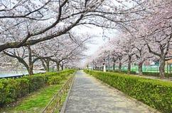 Nice Cherry Blossom Garden Royalty Free Stock Photos