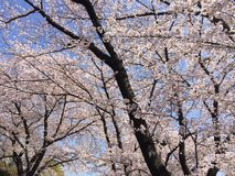 The nice cherry blossoms in full bloom Stock Image