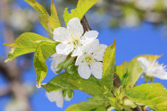 Nice cherry tree blooming Stock Photo