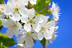 Nice cherry tree blooming Royalty Free Stock Photography