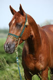 Nice chestnut arabian horse with green show halter Stock Photography