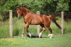 Nice chestnut arabian horse running in paddock. In spring stock image