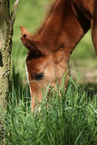 Nice chestnut foal in spring Royalty Free Stock Image