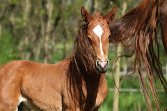 Nice chestnut foal in spring Royalty Free Stock Photography