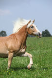 Nice chestnut horse with blond mane running in nature Royalty Free Stock Photography