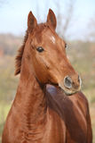 Nice chestnut horse looking at you Stock Photography