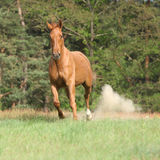 Nice chestnut horse running in freedom and making the dust Royalty Free Stock Images