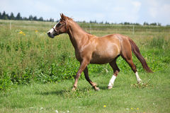Nice chestnut horse running on meadow Stock Image