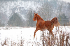 Nice chestnut horse running in winter Royalty Free Stock Photo