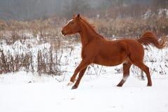 Nice chestnut horse running in winter