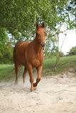 Nice chestnut horse in the sand Stock Image
