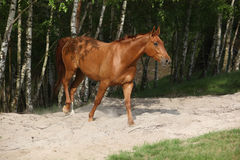 Nice chestnut horse in the sand Stock Images