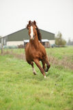 Nice chestnut welsh pony stallion running on pasturage Stock Photos