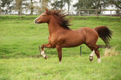 Nice chestnut welsh pony stallion running on pasturage Royalty Free Stock Photography