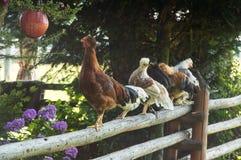 Nice chickens stock photo