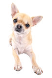 Nice chihuahua dog close-up lying  down isolated. Chihuahua dog close-up lying  down isolated on white background Stock Photo