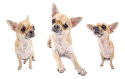 Nice chihuahua dog set of portraits isolated Royalty Free Stock Photo