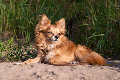 Nice chihuahua dog on summer natural background Stock Photos