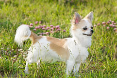 Nice chihuahua among green grass and flowers Stock Image
