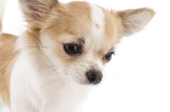 Nice chihuahua looking down close-up Stock Image