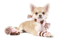 nice chihuahua puppy with knitted set Stock Photo