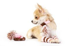 Nice chihuahua puppy with knitted set Royalty Free Stock Photo