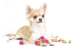 Nice chihuahua puppy with roses. Chihuahua puppy with roses lying on white in studio Royalty Free Stock Photo